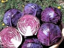 Cabbage F1 Ruby King